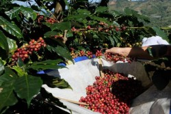BBC: How Vietnam became a coffee giant !