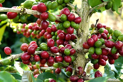 vietnamese coffee tree beautiful
